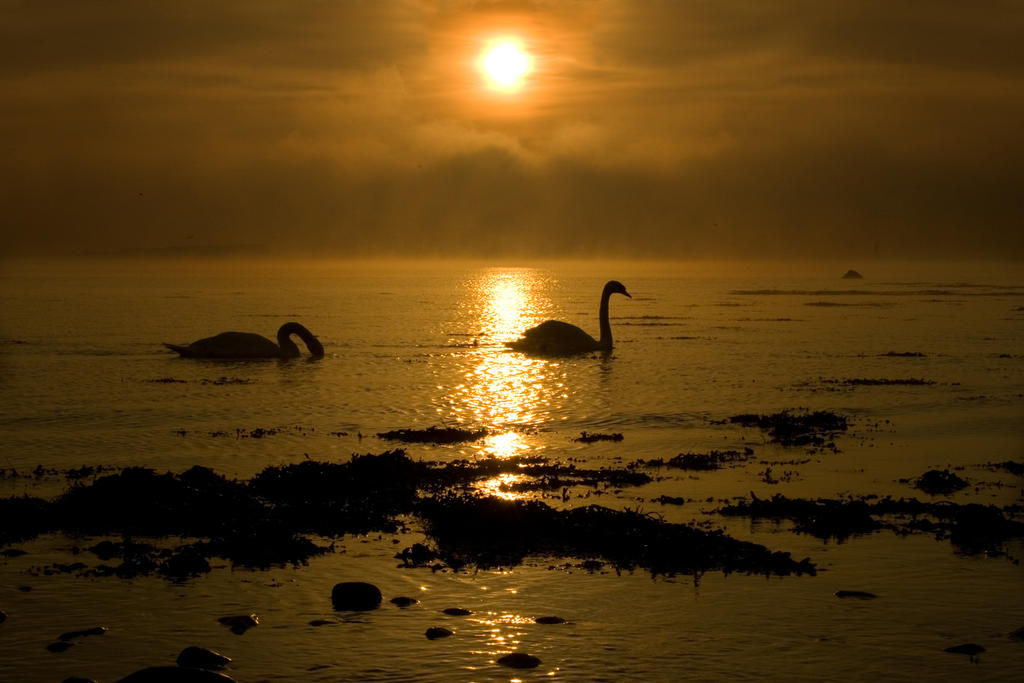 Dawn swans at Claddagh beach