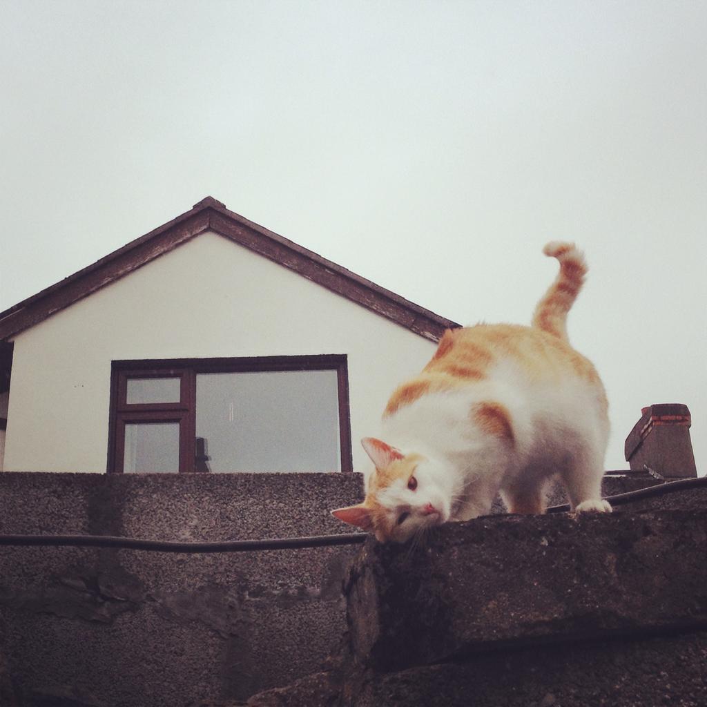 Ginger bastard cat