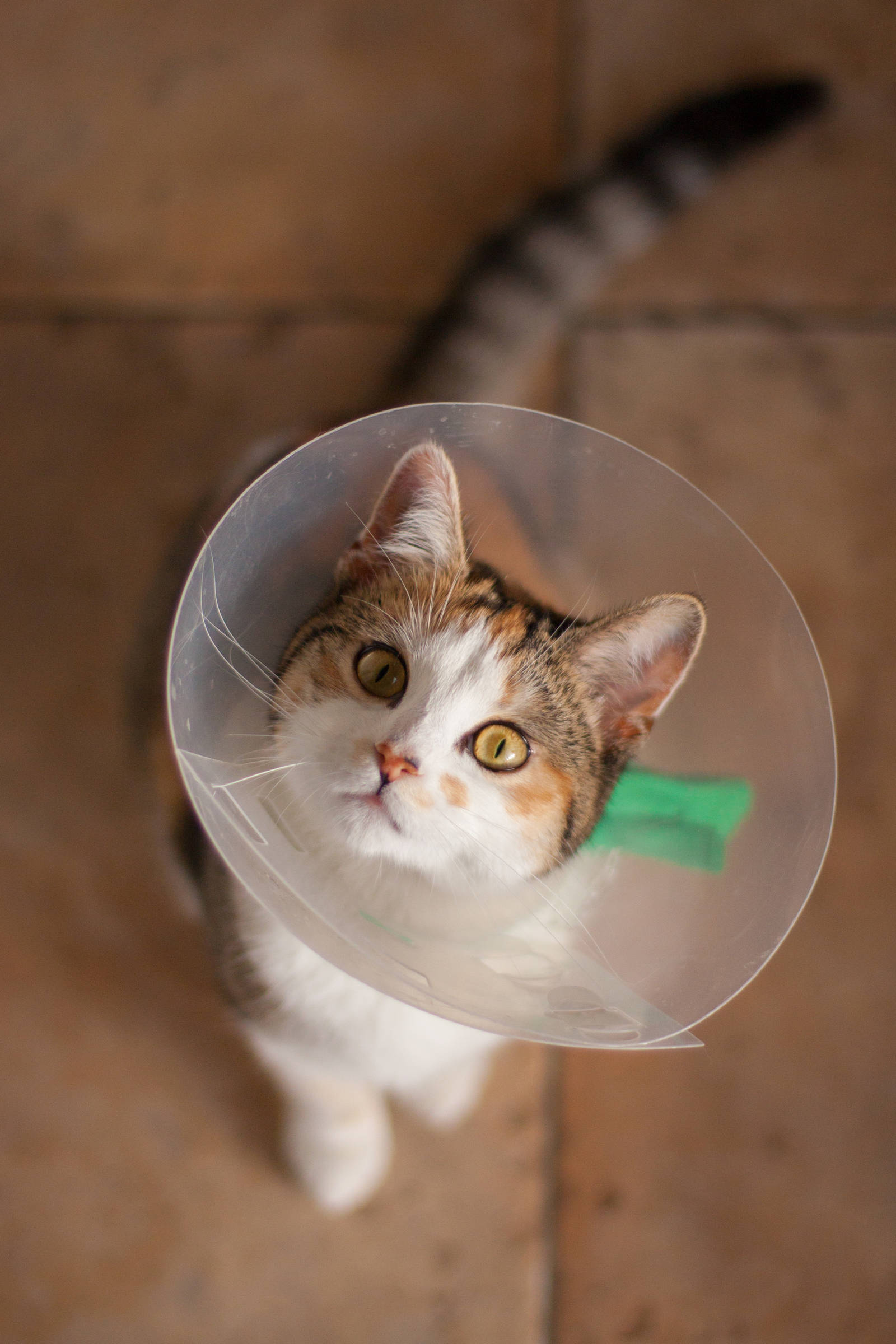 Cookie in a Victorian cone after being neutered
