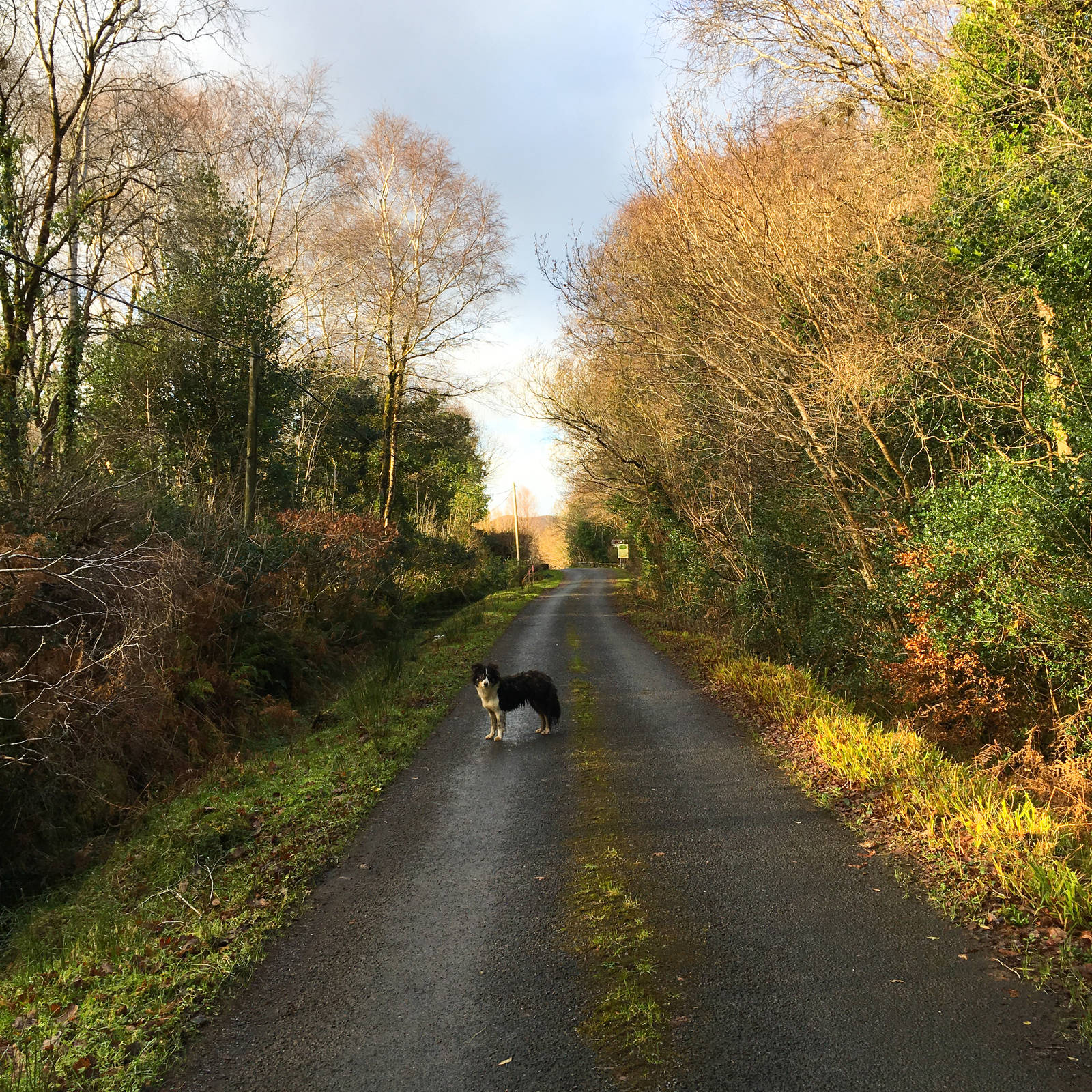 Dog on the road near Oughterard