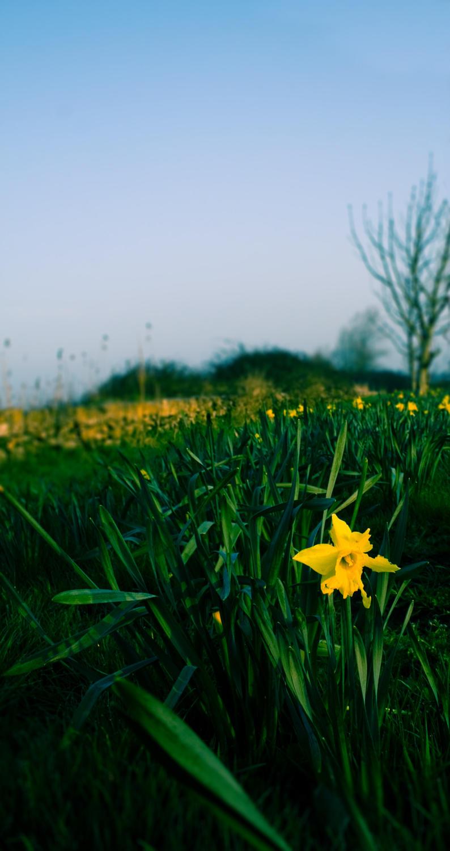 Spring daffodil on the Dyke Road