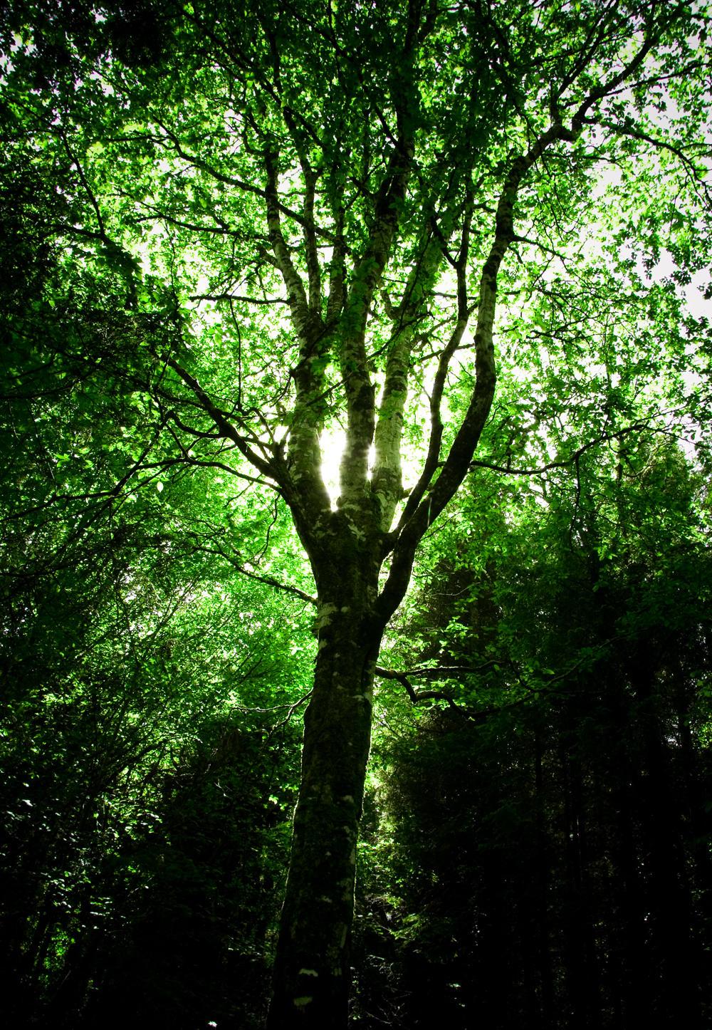 Coole Park trees