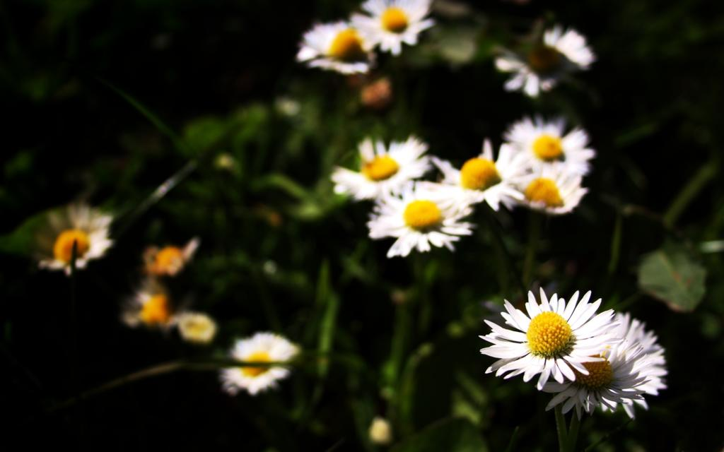 Galway daisies
