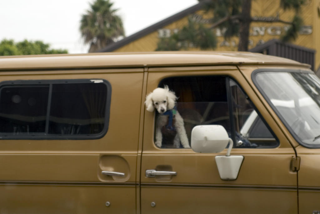 Poodle in a van in Chula Vista