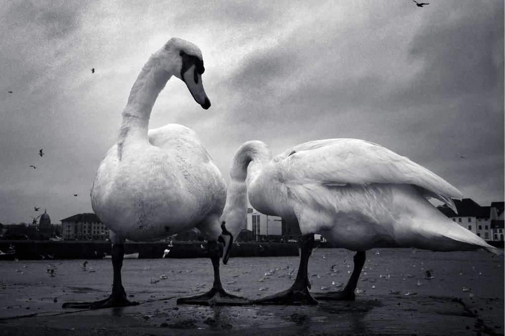 Swans at Claddagh